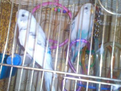 продам 2 попугаев с клеткой